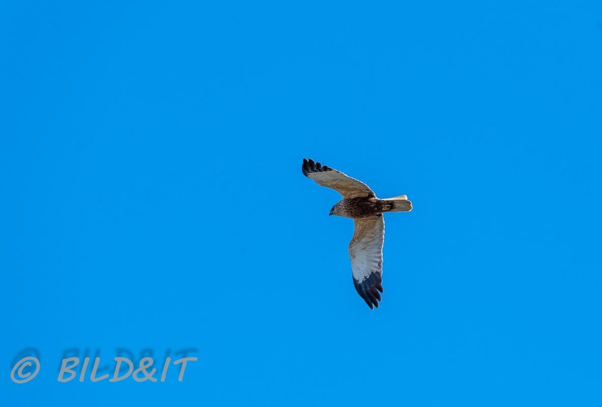 DSC_0694-210501-Brun-Karrhok-Circus-aeruginosus-Western-marsh-harrier