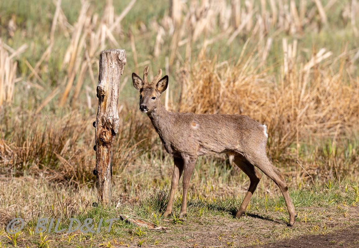 DSC_0804-210501-Capreolus-capreolus-Roe-deer-Radjur