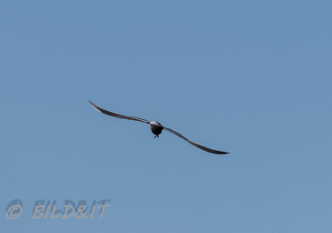 DSC_0816-210501-Common-tern-Fisktarna-Sterna-hirundo