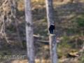 DSC_0627-210501-Northern-lapwing-Tofsvipa-Vanellus-vanellus