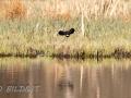 DSC_0635-210501-Northern-lapwing-Tofsvipa-Vanellus-vanellus