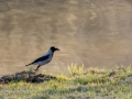 DSC_0678-210501-Corvus-cornix-Grakraka-Hooded-crow-Kraka