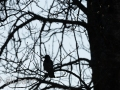 DSC_0687-210501-Corvus-cornix-Grakraka-Hooded-crow-Kraka