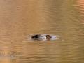 DSC_0773-210501-Bucephala-clangula-Common-goldeneye-Knipa