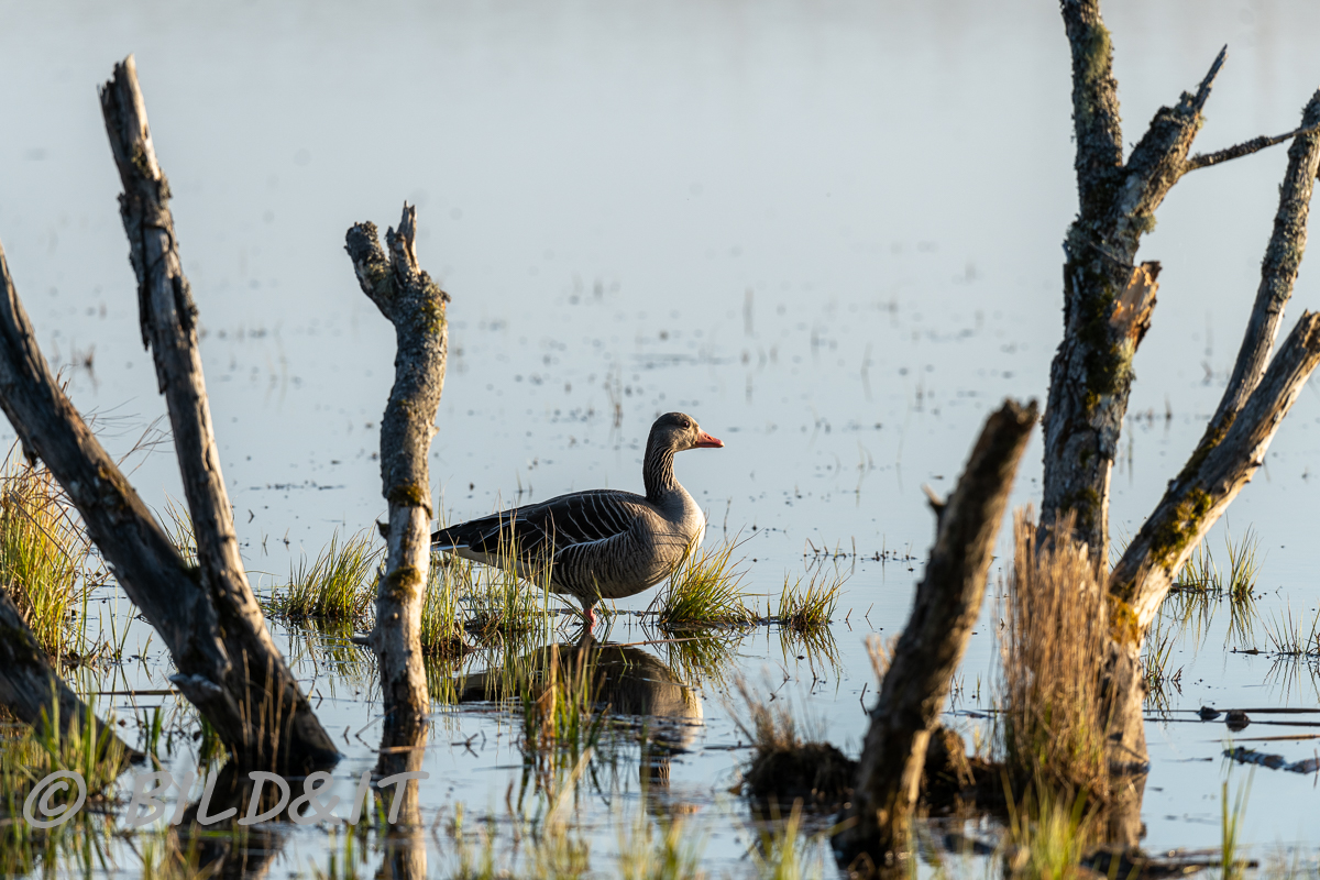DSC_0187-210417-Anser-anser-Greylag-goose-Gragas