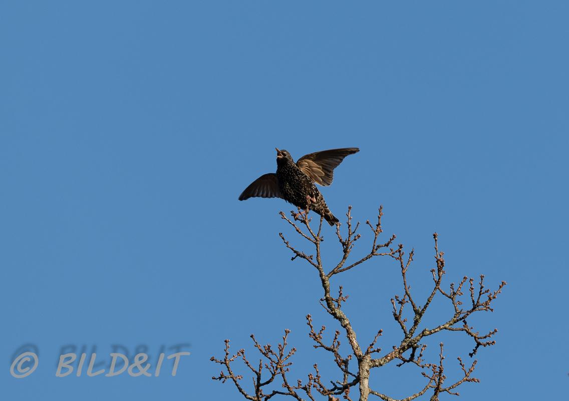 DSC_0267-210417-Common-starling-Stare-Sturnus-vulgaris